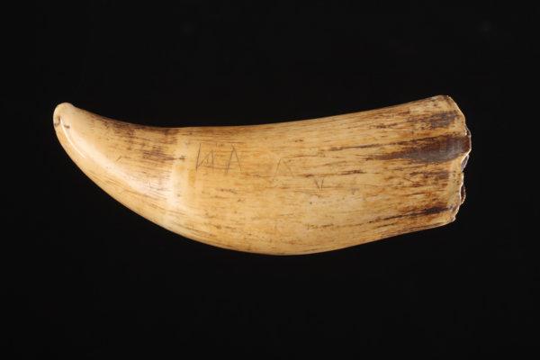 fiji-whale-tooth